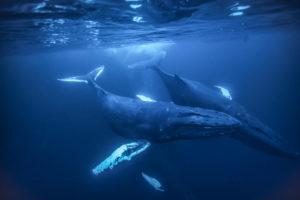 Hosszúszárnyú bálna 1