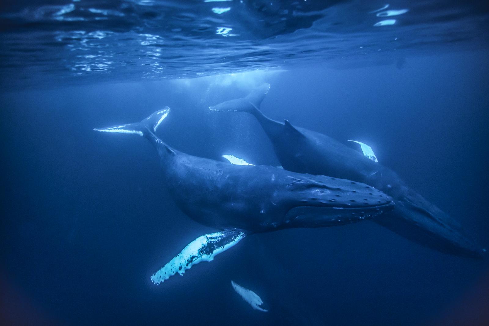 a bálna tabletták ára